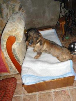 Jazvečík Fredy má letný zostrih a pačí sa mu psia postieľka