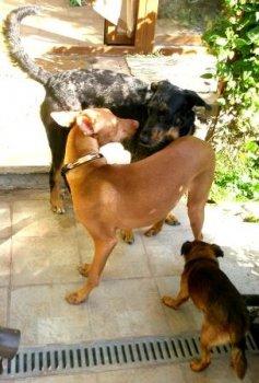 Aj beauceronka Grétka /čierna s fľakmi/ a faraónsky pes Osman /ryšavý/ vedia oceniť Verdelove priateľstvo