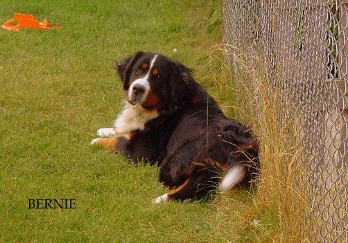 Bernský salašnícky pes Bernie
