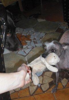 A veľmi som sa divila, že na svete je psík bez chlpov :-)))) nestačila som sa na Huga vynadívať