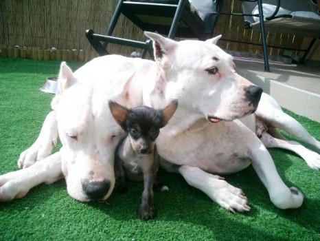 Prišla som z rodiny kde boli moji bratia a sestry argentínske dogy, takže sa nebojím ničoho
